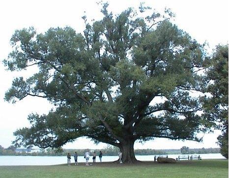 A huge old tree
